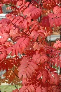 S. aucuparia 'Fastigiata' autumn leaves